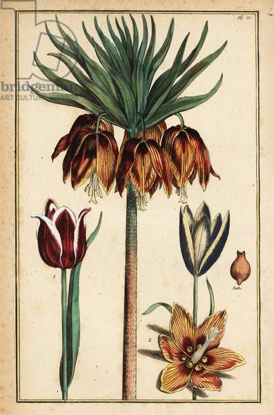 Crown imperial lily, Fritillaria imperialis, and tulips, Tulipa gesneriana