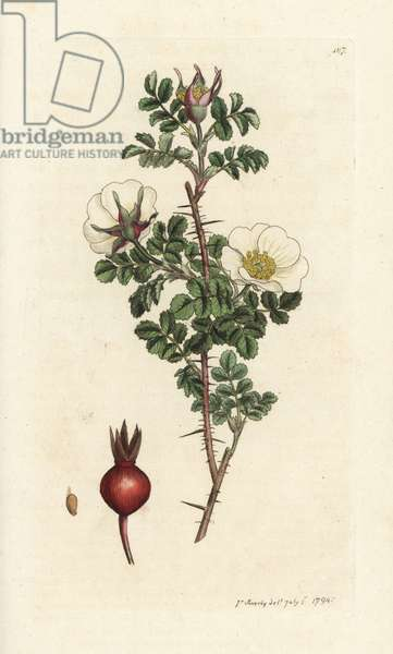 Pink burnet, Rosa spinosissima. Handcoloured copperplate engraving by James Sowerby from James Smith's English Botany, London, 1794.