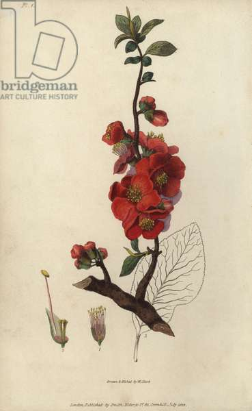 """Japanese quince tree, Chaenomeles japonica. Handcoloured botanical illustration drawn and engraved by William Clark from Richard Morris's """"Flora Conspicua"""" London, Longman, Rees, 1826. William Clark was former draughtsman to the London Horticultural Society and illustrated many botanical books in the 1820s and 1830s."""