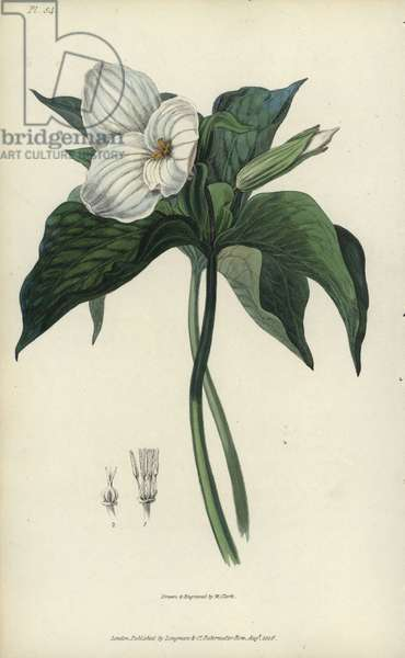 """Great white trillium, Trillium grandiflorum. Handcoloured botanical illustration drawn and engraved by William Clark from Richard Morris's """"Flora Conspicua"""" London, Longman, Rees, 1826. William Clark was former draughtsman to the London Horticultural Society and illustrated many botanical books in the 1820s and 1830s."""