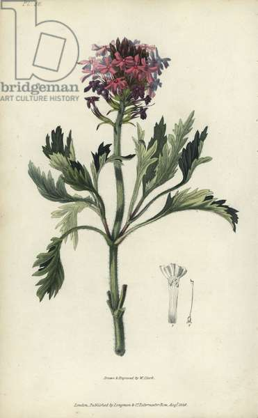 """Lambert's vervain, Verbena lamberti. Handcoloured botanical illustration drawn and engraved by William Clark from Richard Morris's """"Flora Conspicua"""" London, Longman, Rees, 1826. William Clark was former draughtsman to the London Horticultural Society and illustrated many botanical books in the 1820s and 1830s."""