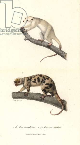 White cuscus and spotted cuscus, Spilocuscus maculatus. Handcoloured copperplate engraving after an illustration by Edouard Travies from Rene Primevere Lesson's Complements de Buffon, Pourrat Freres, Paris, 1838.