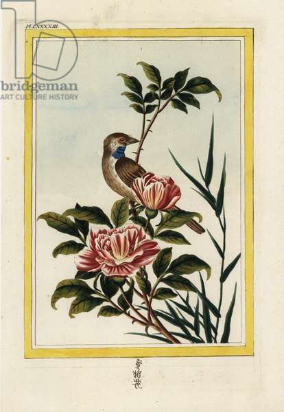 The Rose has double flowers of a saffrane red. Scone-flowered pink, Rosa species. Handcoloured etching from Pierre Joseph Buchoz 'Precious and illuminated collection of the most beautiful and curious flowers, grown both in the gardens of China and in those of Europe, Paris, 1776.