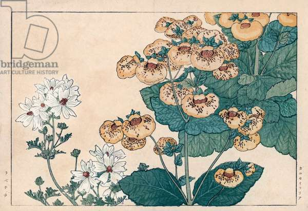 """Calceolaire or small slipper and white Lavatere. Calceolaria, Lady's purse, Slipper or Pocketbook flower and Lavatera. Handcoloured woodblock print from Konan Tanigami's """""""" Seiyou Sokazufu"""""""" (Pictorial Album of Western Plants and Flowers: Spring), Unsodo, Kyoto, 1917. Tanigami (1879-1928) depicted 125 varieties of garden plants through the four seasons."""