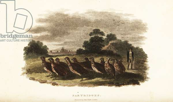 18th century English man driving a covey of tame partridges from Sussex to London on a bet
