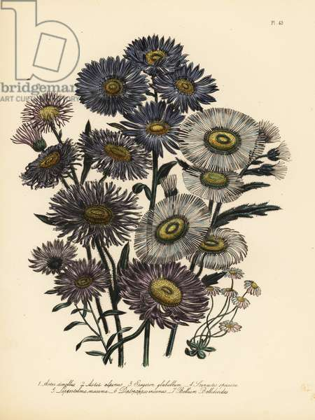Italian michaelmas daisy, Aster amellus, alpine aster, Aster alpinus, smooth-leaved fleabane, Erigeron glabellum, showy fleabane, Stenactis speciosa, great Mexican daisy, Leptostelma maxima, hoary Californian aster, Diplopappus incarnus, and common lesser daisy, Bellium bellinoides. Handfinished chromolithograph by Henry Noel Humphreys after an illustration by Jane Loudon from Mrs. Jane Loudon's Ladies Flower Garden of Ornamental Perennials, William S. Orr, London, 1849.