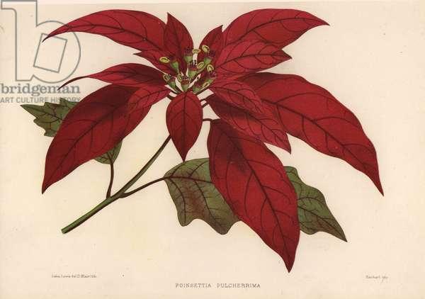 Poinsettia, Euphorbia pulcherrima (Poinsettia pulcherrima)