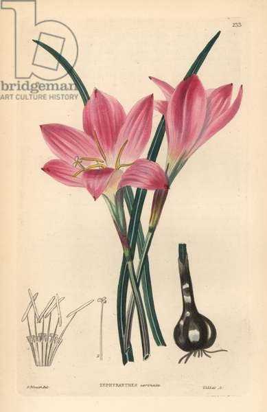 Lily a Borders, Little Lily Rose - Rosepink zephyr lily or pink rain lily, Zephyranthes carinata. (Keeled-leaved zephyr flower). Handcoloured copperplate engraving by Weddell after Edwin Dalton Smith from John Lindley and Robert Sweet's Ornamental Flower Garden and Shrubbery, G. Willis, London, 1854.