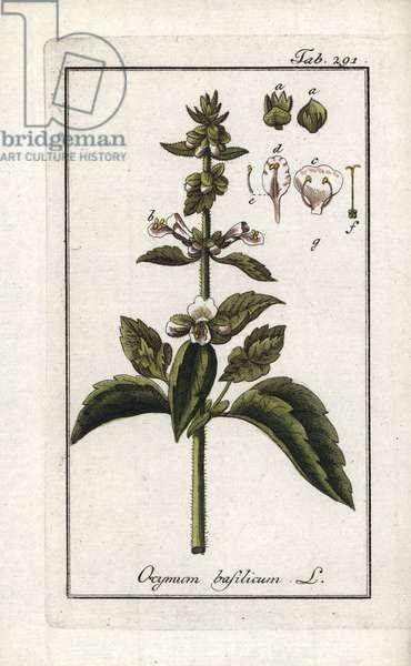 "Basil (Ocimun basilicum). Lithograph from ""Afbeelding der Artseny-Gewassen"" by Johannes Zorn (1739-1799), Netherlands, 1796. Sweet basil, Ocimon basilicum. Handcoloured copperplate botanical engraving from J. Zorn's ""Afbeelding der Artseny-Gewassen,"" Amsterdam, 1796."