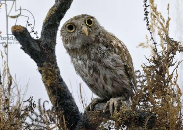 Athena, Florence Nightingale's stuffed pet owl (photo) (detail of 321965)