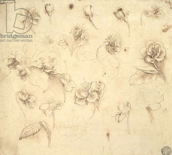 Study of the Flowers of Grass-like Plants (Briza Maxima) c.1481-83 (pencil on paper)