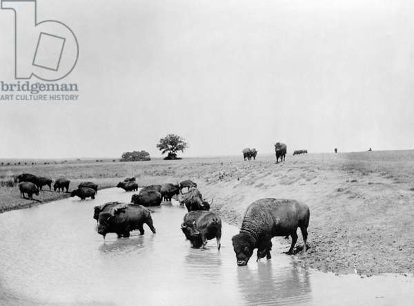 YELLOWSTONE: BISON, c.1905 A herd of bison at a lake in Yellowstone National Park, Wyoming. Photograph, c.1905.