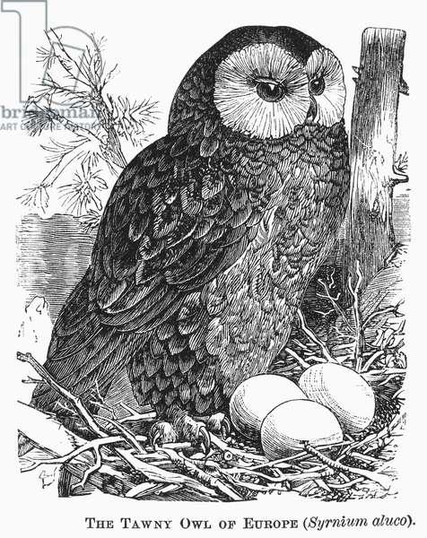 TAWNY OWL, 1877 Syrnium aluco. Line engraving, 1877.
