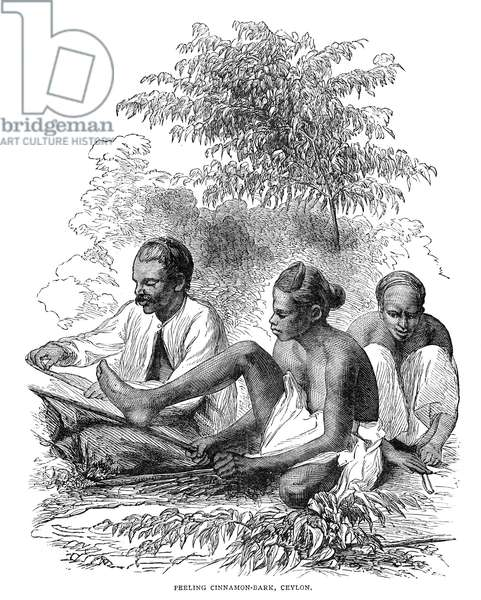 CEYLON: CINNAMON, 1882 Natives of Ceylon peeling cinnamon bark. Wood engraving, 1882.