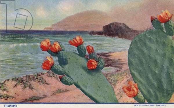 HAWAII: PANINI CACTUS A flowering panini cactus in Hawaii. Postcard, c.1930.