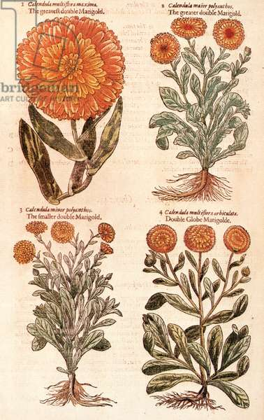 MARIGOLDS Marigolds (Calendula officinalis), from the first edition of John Gerard's Herball, published in 1597.