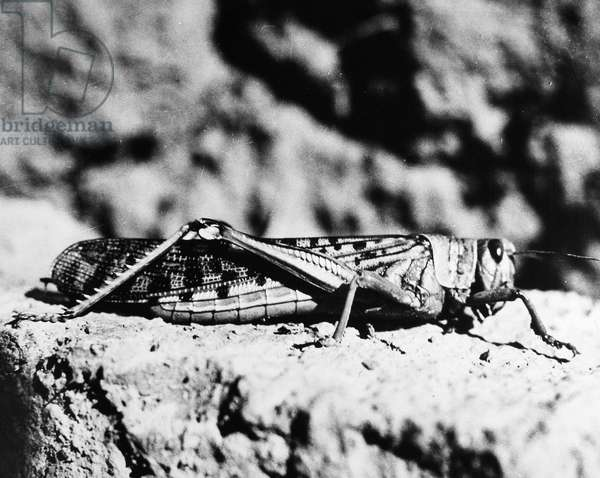 LOCUST An adult desert locust in the Middle East. Photographed 1952.