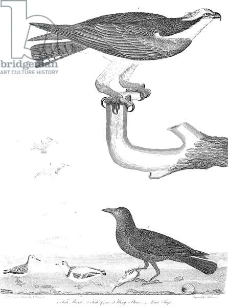 ORNITHOLOGY, 1808-1814 1. Fish Hawk 2. Fish Crow 3. Ring Plover 4. Least Snipe. Line engraving from Alexander Wilson's 'American Ornithology,' 1808-1814.
