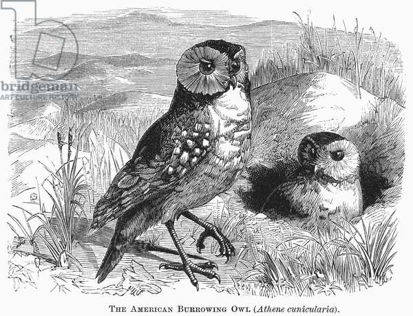 BURROWING OWL, 1877 Athene cunicularia. Line engraving, 1877.