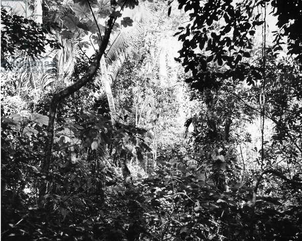 HONDURAS: TROPICAL FOREST Photograph, 1955.