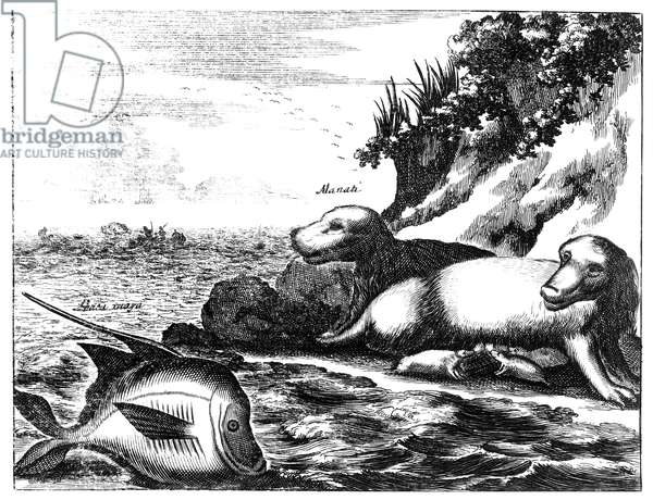 MANATEE, 17th CENTURY Copper engraving, English, 17th century.