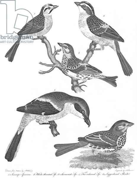 "ORNITHOLOGY, 19th CENTURY 1. Swamp sparrow 2. White-throated sparrow 3. Savannah sparrow 4. Fox-colored sparrow 5. Loggerhead shrike: line engraving from Alexander Wilson's ""American Ornithology,"" 1808-1814."