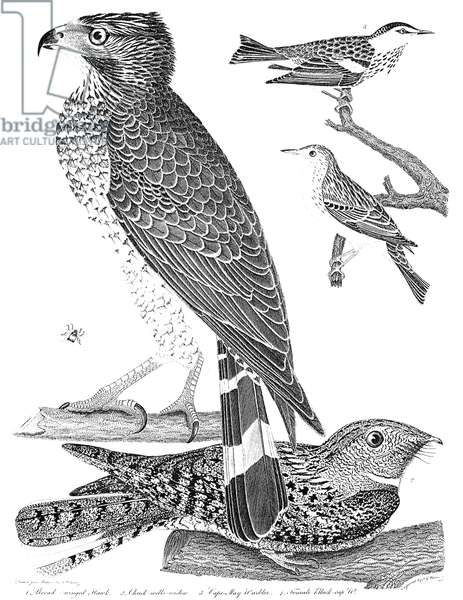 ORNITHOLOGY, 1808-1814 1. Broad-winged Hawk 2. Chuck-wills-widow 3. Cape-May Warbler 4. Female Black-cap. Line engraving from Alexander Wilson's 'American Ornithology,' 1808-1814.
