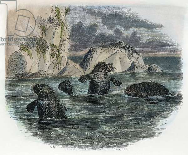MANATEE, 19th CENTURY Ascribed by some as the source of the legend of the mermaid: engraving, 19th century.
