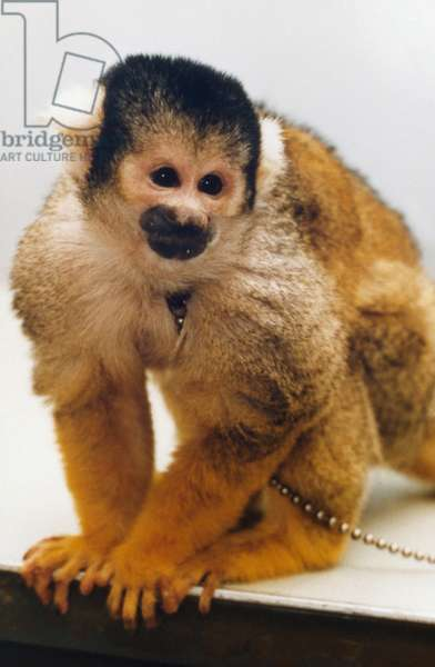 NASA MONKEY, 1985 A squirrel monkey, similar to those selected to fly aboard the science module of Spacelab 3 in the Space Shuttle Challenger's cargo bay during the STS-51-B mission. Photograph, 1985.