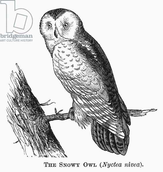 SNOWY OWL, 1877 Nyctea nivea. Line engraving, 1877.