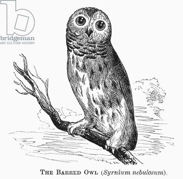 BARRED OWL, 1877 Syrnium nebulosum. Line engraving, 1877.