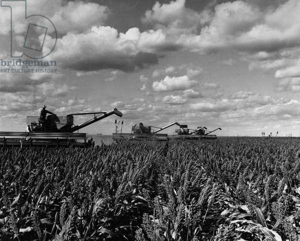 TEXAS: SORGHUM HARVEST Four combines harvesting grain sorghum on a farm in Ralls, Texas. Photograph, 23 September 1968.