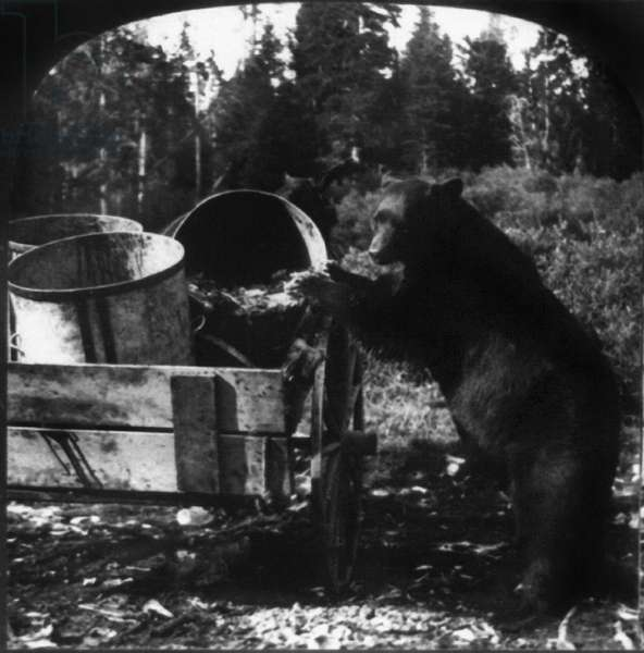 YELLOWSTONE: BEAR, c.1905 A large black bear dumping garbage pails from a wagon in Yellowstone National Park, Wyoming. Stereograph, c.1905.