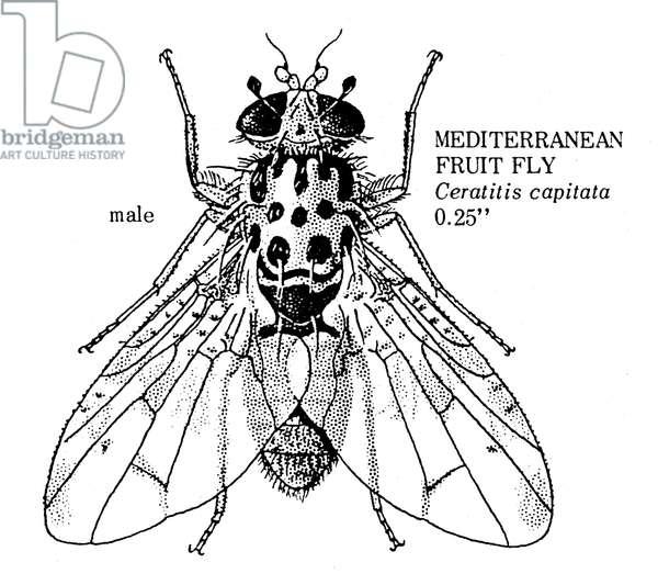 FRUIT FLY Male Mediterranean fruit fly (Ceratitis capitata).