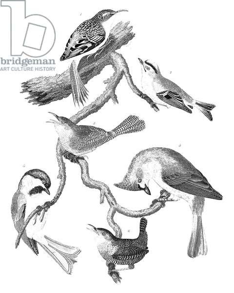 AMERICAN ORNITHOLOGY 1. Brown creeper 2. Golden-crested wren 3. House wren 4. Black-capt titmouse 5. Crested titmouse 6. Winter wren.