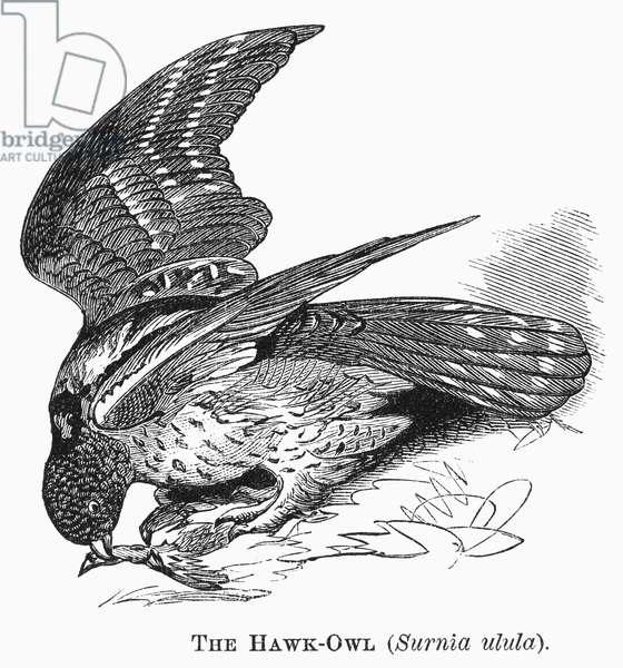 HAWK OWL, 1877 Surnia ulula. Line engraving, 1877.
