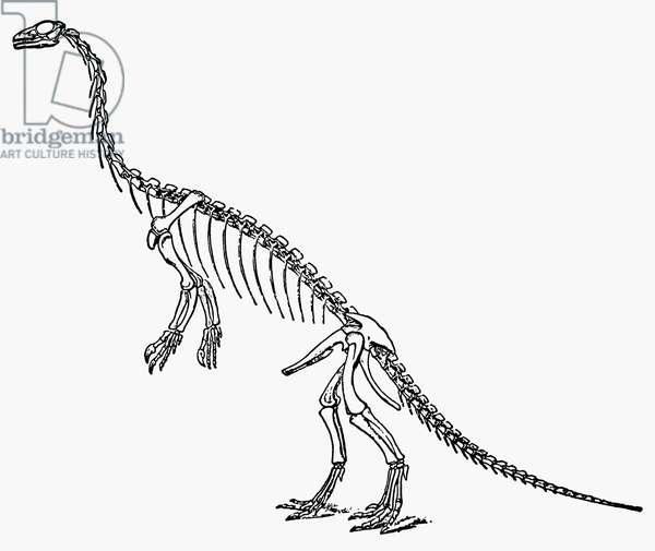 DINOSAUR: ANCHISAURUS Skeleton of the Triassic dinosaur 'Anchisaurus.'