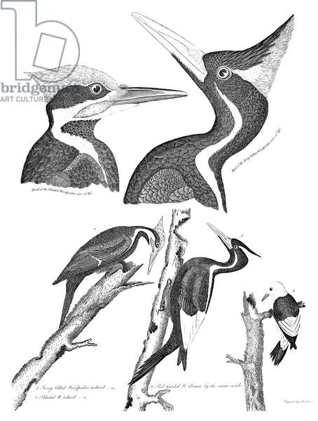 AMERICAN ORNITHOLOGY 1. Ivory-billed woodpecker 2. Pileated woodpecker 3. Red-headed woodpecker. Line engraving from Alexander Wilson's 'American Ornithology,' 1808-1814.