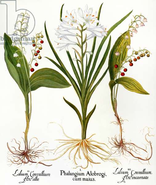 LILY-OF-THE-VALLEY (Convallaria majalis). St. Bruno's lily (Paradisea liliastrum); and pink lily-of-the-valley (Convallaria majalis): engraving for Basilius Besler's