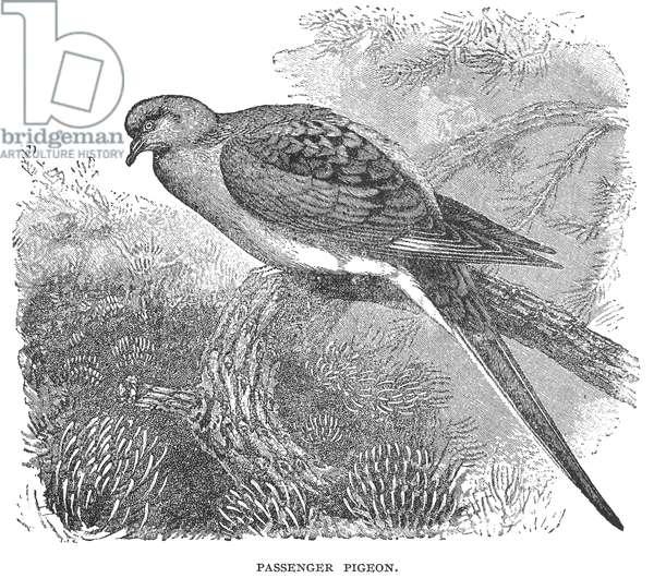 PASSENGER PIGEON Line engraving, 19th century.