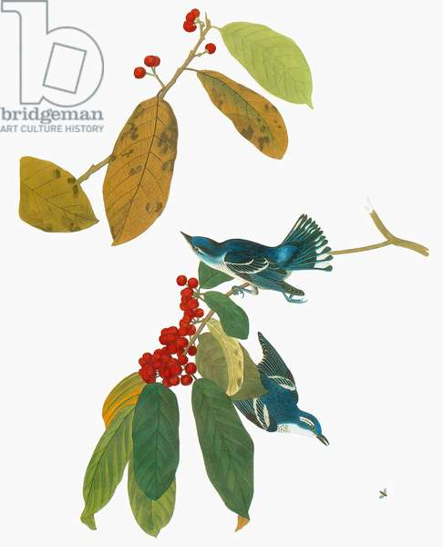AUDUBON: WARBLER Cerulean Warbler (Setophaga cerulea, formerly Dendroica cerulea). Engraving after John James Audubon and (lower figure) Alexander Wilson for Audubon's 'Birds of America,' 1827-38.