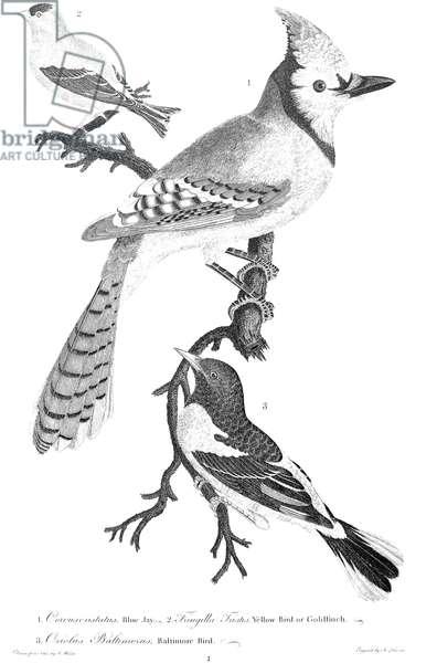 AMERICAN ORNITHOLOGY 1. Blue jay (Corvus cristatus) 2. Yellow-bird or Goldfinch (Fringilla Tristis) 3. Baltimore bird (Oriolus Baltimorus). Line engraving from Alexander Wilson's 'American Ornithology,' 1808-1814.