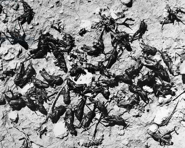 LOCUSTS Mediterranean locusts (Dochyostiaros marachades) in the Middle East. Photographed 1952.