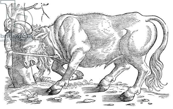 AUROCHS. Woodcut from Conrad Gessner's 'Historiae animalium,' 1551.