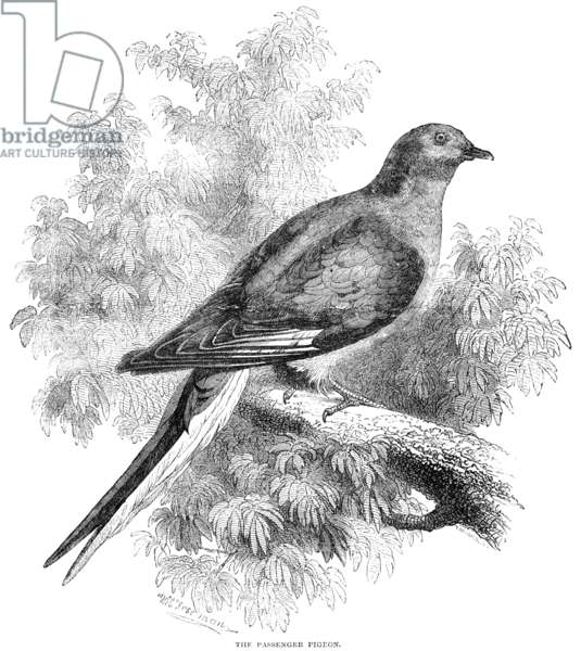 PASSENGER PIGEON Wood engraving, English, c.1880.