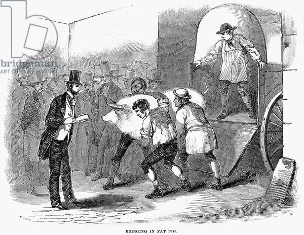 ENGLAND: PIG, 1850 'Bringing in fat pig.' Wood engraving, English, 1850.