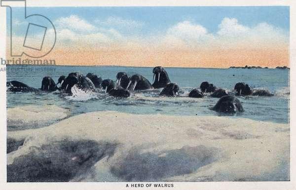 ALASKA: WALRUSES A herd of walruses in Alaska. Postcard, c.1938.