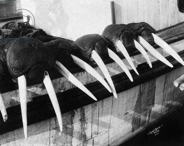 ALASKA: WALRUSES, c.1931 Walrus head and tusks on view in Nome, Alaska. Photograph, c.1931.