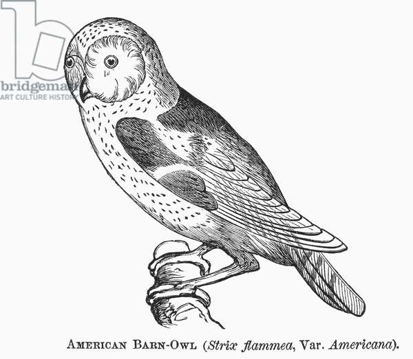 BARN OWL, 1877 Strix flammea. Wood engraving, 1877.