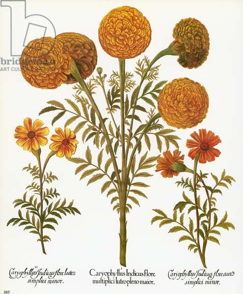 MARIGOLDS, 1613 Multiflorous Aztec marigold, or African marigold, with French marigolds on either side. Engraving for Basilius Besler's